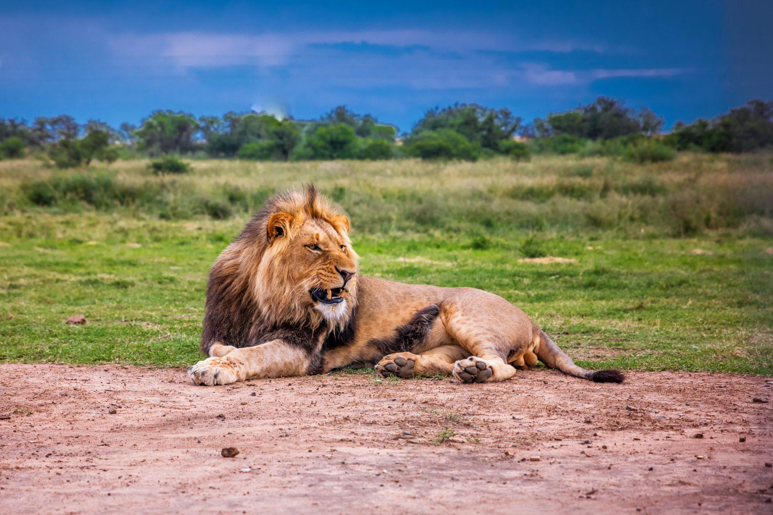 Kom helt tæt på savannens store kattedyr